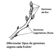 tipus gemmes