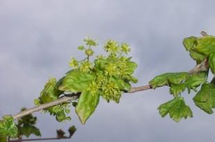 Acer Campestris-flor