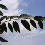 Eleagnus angustifolia caspica-creixement