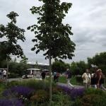 Firminiana simplex-arbre jove estiu