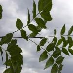 Fraxinus excelsior-creixement