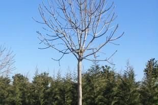Fraxinus ornus Meczek-forma copa