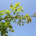 Gleditsia triacanthus Inermis- creixement