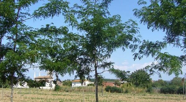 Gleditsia triacanthus Skyline-arbre estiu