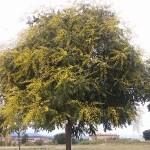 Koelreuteria paniculata-arbre florit