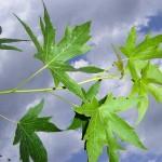 Liquidambar styraciflua Worplesdon-creixement