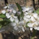 Malus sylvestris John Downie-flor