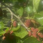 Morus alba-fruit primavera