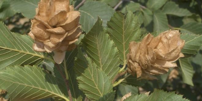 Ostrya carpinifolia-fruit tardor