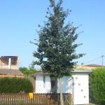 Parrotia persica-arbre estiu