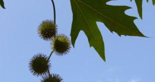 Platanus orientalis Cuneata-estadi H