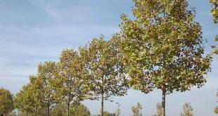 Platanusxacerifolia-alineació carrer