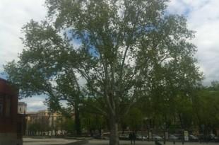 Platanusxhispanica-arbre adult
