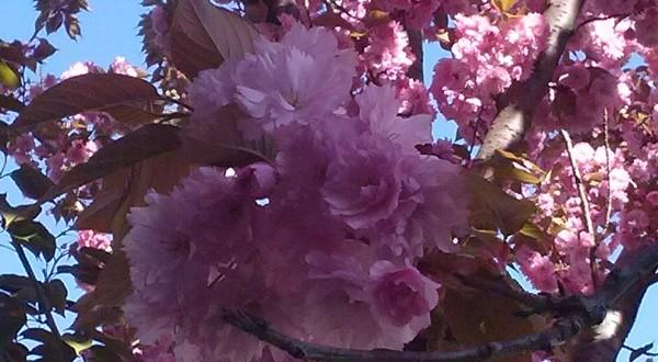 Prunus serrulata Kanzan-flors