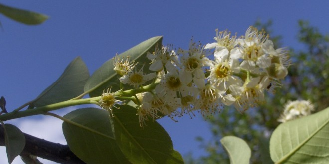 Prunus virginiana Shubert-flor