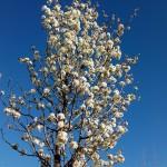 Pyrus-calleriana-Chanticleer-plena-florició