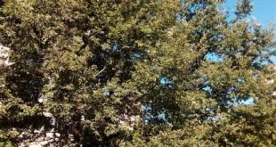Quercus cerris-arbre adult