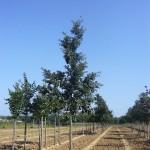 Quercus cerris-arbre estiu