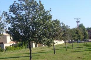 Quercus pubescens-alineació