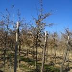 Quercus pubescens-arbre hivern