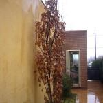 Quercus robur Fastigiata Koster-arbre hivern