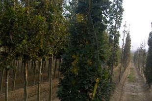 Quercus robur Fastigiata Koster-format fastigiat