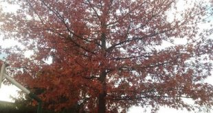 arbre tardor-adult