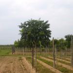 Rhus typhina-arbre estiu viver