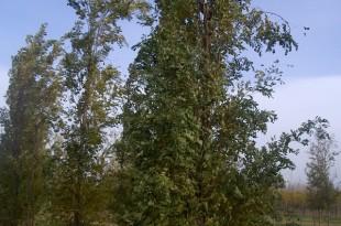 Robinia pseudoacacia Fastigiata-arbre tardor