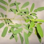 Robinia pseudoacacia Unifolia-creixement