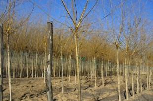 Salix alba Vitellina Pendula-format copa