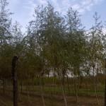 Salix alba-arbre tardor