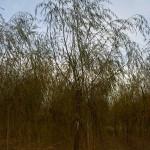 Salix babylonica-arbre tardor