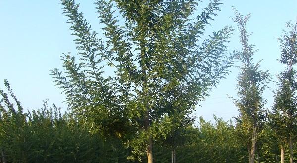 Sophora japonica Pubescens- arbre estiu
