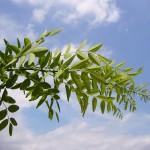 Sophora japonica Pubescens-creixement