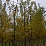 Sophora japonica Regent-coloració