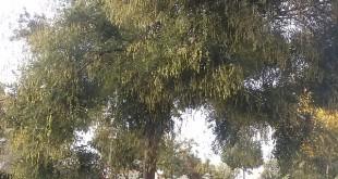 Sophora japonica-arbre adult tardor