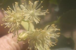 Tilia cordata Greenspire-flor
