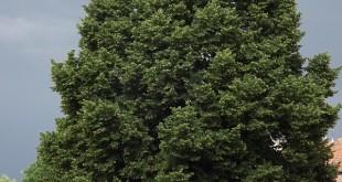 arbre adult