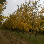 Tilia tomentosa-arbre tardor
