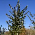 Ulmus lutece Nanguen-arbre tardor