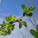 Ulmus resista Sapporo Gold-arbre tardor