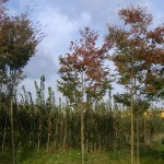 Zelkova serrata Green Vase-arbre tardor