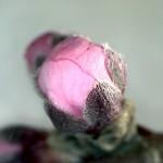 Prunus-persicae-estadi-D