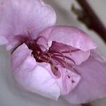 Prunus-persicae-estadi-E1
