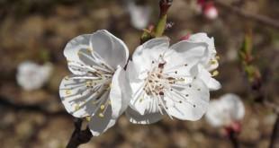 Prunus armeniaca- flor