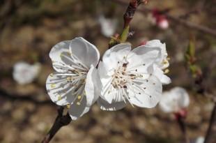 flor d'albercoquer