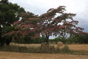 Albizia julibrissin-arbre florit