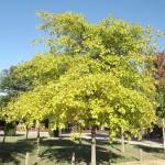 Quercus palustris cloròtic