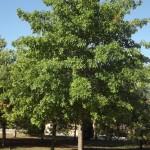 Quercus palustris sa